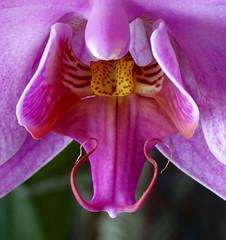 Phalenopsis closeup 4 (pedro vit) Tags: flower closeup square phalenopsis flowerotica cy2 challengeyouwinner ltytr1