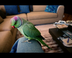 -::- Pepeto! -::- (-::-Mr.AD-::- *Uae*) Tags: pink red black male green bird indian small feathers parrot parakeet ringneck ringnecked roseringed neckring pepeto napeband
