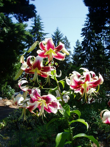 Lilium Scheherazade in morning light.