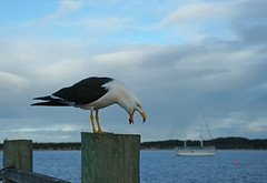"""Hey!  Keep it quiet down there!"" (rogersmithpix) Tags: gulls kangarooisland seabirds americanriver pacificgull featheryfriday laruspacificus featherfriday thewonderfulworldofbirds southaustralianbirds australiangulls australianseabirds americanriverbirds southaustralianseabirds"
