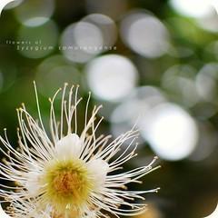 flowers of Syzygium samarangense (khaniv13) Tags: flower nature closeup 35mm nikon dof bokeh air bunga f18 jambu afs syzygium samarangense d40x khaniv13