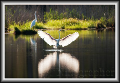 Xray Egret (Nikographer [Jon]) Tags: summer bird heron birds animal animals md wildlife maryland august national xray aug egret 2009 greategret refuge egrets greategrets whiteheron marylandseasternshore whiteherons bnwr 20090815d30079863 blackwaterrefugenwrblackwater refugemdmaryland2009summeraugust 4donegi