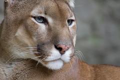 Puma (Bas Lammers) Tags: canon zoo sitting serbia puma beograd 50d specanimal mywinners platinumheartaward grouptripod vosplusbellesphotos