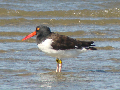 oystercatcher at sea sony 2 copy