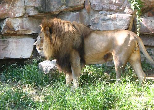 fwz lion 3