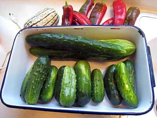 Kris' cucumbers