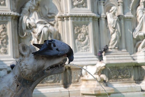Pigeon in Siena