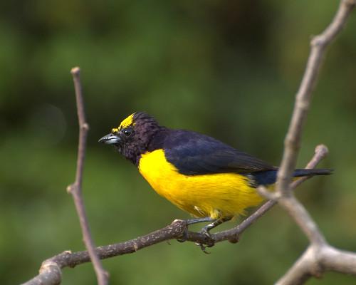 フリー画像| 動物写真| 鳥類| 野鳥| オジロスミレフウキンチョウ|       フリー素材|