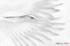 Rverie (Imapix) Tags: canada bird art nature animal canon photography photo foto photographie quebec qubec oiseau snowgeese oie imapix snowgoose gaetanbourque oieblanche supereco 100commentgroup imapixphotography gatanbourquephotography