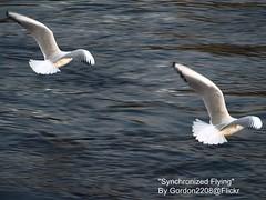 Synchronized Flying Gordon2208 (gordon2208) Tags: sea birds river scotland flying hero winner inverness ness synchronized goldstaraward