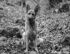 eden (thomas mazzolini) Tags: chien nb bergerallemand fidle