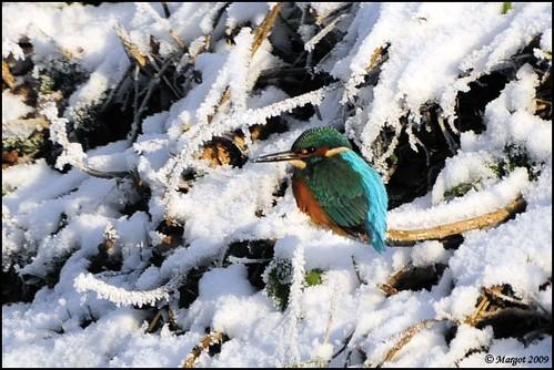 Kingfisher / IJsvogel / Alcedo atthis(1).