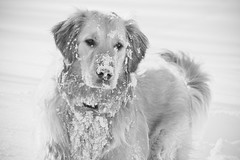 Finn's Snow Day (A. Spence) Tags: winter dog snow love goldenretriever canon puppy massachusetts january newengland canine explore finn explored naturedog