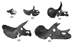 triceratop horns: a is a 1yo baby, c is older juvenile, d is a young adult, e is an adult - livescience
