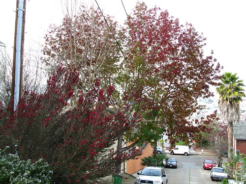 Leptospermum and Liquidambar