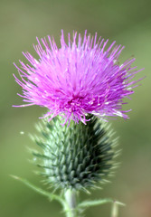 thistly thistle (cool_colonia4711) Tags: green purple thistle lila grn distel cottonthistle spearthistle scottishthistle eselsdistel onopordumacanthium krebsdistel wolldistel krampfdistel schottischedistel