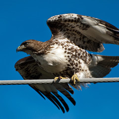 Ready for take off.... (Images by John 'K') Tags: california dublin hawk photoaday february 2009 potofgold johnk ironhorsetrail photographyrocks golddragon saturdayride d40x concordians goldstaraward flickrestrellas alittlebeauty johnkrzesinski randomok