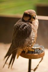 European Lanner Falcon (Falco biarmicus feldeggi) (Dave Jones - one of many) Tags: bird beak sharp raptor falcon prey predator davej 85mmf14d 85mmf14 lanner d700