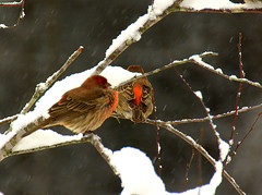 Flurried Finches (T i s d a l e) Tags: winter birds backyard farm wildlife january northcarolina males snowfall housefinches nikond40 tisdale53 flurriedfinches