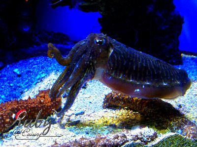 Monaco_aquarium_common_cuttlefish