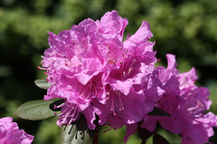 报春的杜鹃, Azaleas,rhododendron
