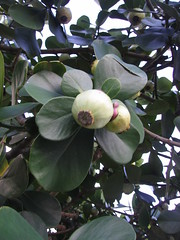 mangosteen tree