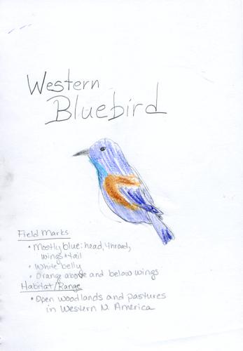 Western Bluebird Nature Journal -- Zippy age 9