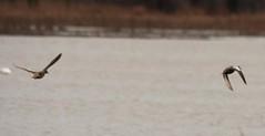IMG_2110 (rpealit) Tags: nature flying scenery wildlife hyper teals humussbluewinged