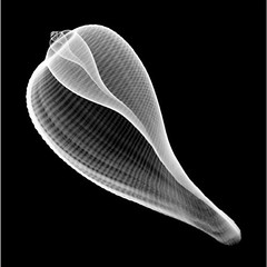 Ficus gracilis (Surfactant) Tags: shell xray radiograph