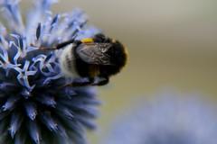 Parc Floral - Vincennes-16 (MissDogo) Tags: paris macro fleur closeup parc insectes vincennes chardon parcfloral bourdon proxyphoto hym hyménoptères hymnoptres