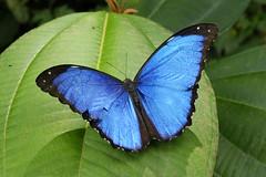 Morpho menelaus, Parque Nacional Yasuní (ggallice) Tags: rain america forest butterfly ecuador amazon rainforest south jungle latin latinoamerica morpho bluemorpho