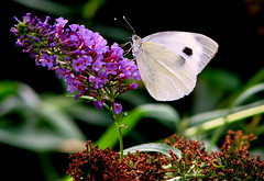 white butterfly (catlovers) Tags: pink summer white nature animal butterfly butterflies catlovers topshots natureselegantshots vosplusbellesphotos panoramafotogrfico thebestofmimamorsgroups monisertel