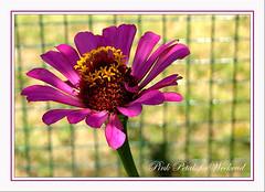 Pink Petals For weekend (baby7) Tags: pink flower macro yellow garden for petals nikon friend weekend bahçe roza bursa sonu hafta yaprak pembe baby7 detay detaisl telörgü trkiye