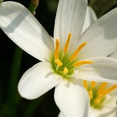 Arboretum 090309 482 (Shutter_Hand) Tags: usa naturaleza white flower blanco fleur dallas flora texas sony flor blanca 350 blomma alpha  blume fiore dallasarboretum iek  kukka   miguelmendoza sonyalpha350 iloveminolta letnaturenurtureyou minoltaaf100mmf28macrod iloveminoltaglass