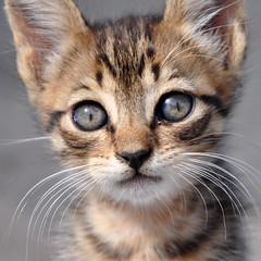 Farouk's eyes (giotto2009) Tags: sardegna portrait italy animal cat eyes nikon sardinia farouk occhi gatto d90 kissablekat bestofcats kittyschoice