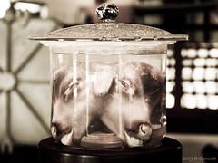 "Hermanos.......""Unidos"" al nacer (Gonzak) Tags: uruguay olympus museo cabezas gettyimages siameses anglo feto fraybentos e500 ronegro otw terneros gonzak useta frigorficoanglo"