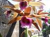S5023867 orquidea que floriu foto de nilgazzola 14 set 2009 (nilgazzola) Tags: sp fotos e echapora arquivos nilgazzola