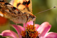 Indian fritillary on a Zinnia (naruo0720) Tags: fab plant flower macro nature closeup butterfly bug insect nikon bokeh zinnia schmetterling d300 naturesfinest argyreushyperbius indianfritillary distelfalter golddragon  ultimateshot flickrdiamond theunforgettablepictures alemdagqualityonlyclub saariysqualitypictures