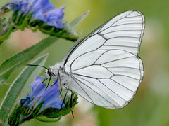 Black-veined White, Gavarnie  (France), 24-Jun-09 (Dave Appleton) Tags: white france butterfly insect pyrenees blackveinedwhite gavarnie blackveined