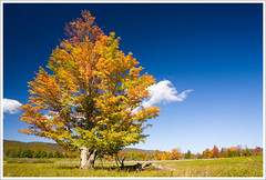 Brilliant Tree - Canaan Valley, WV ([Christine]) Tags: autumn fall colorful searchthebest westvirginia lonetree canaanvalley impressedbeauty