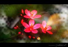 T H A N K S T O A L L (RkRao) Tags: old pink fab flower building history nature public glass dedica