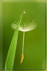 The gentle touch (hvhe1) Tags: flower macro green nature water grass stem flora bravo searchthebest wind touch seed drop dandelion delicate caught soe interestingness2 subtile gentletouch hvhe1 hennievanheerden canoneos7dreview