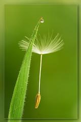 The gentle touch (hvhe1) Tags: flower macro green nature water grass stem flora bravo searchthebest wind touch seed drop dandelion delicate caught soe interestingness2 subtile gentletouch hvhe1 hennievanheerden