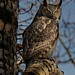 scary adult great horned owl