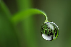 Dewdrop refraction (Lord V) Tags: macro water dewdrop explore refraction frontpage vosplusbellesphotos