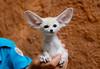 Fennec fox (floridapfe) Tags: white cute animal zoo nikon korea fox fennec everland 에버랜드 fennecfox 사막여우 natureselegantshots thebestofmimamorsgroups