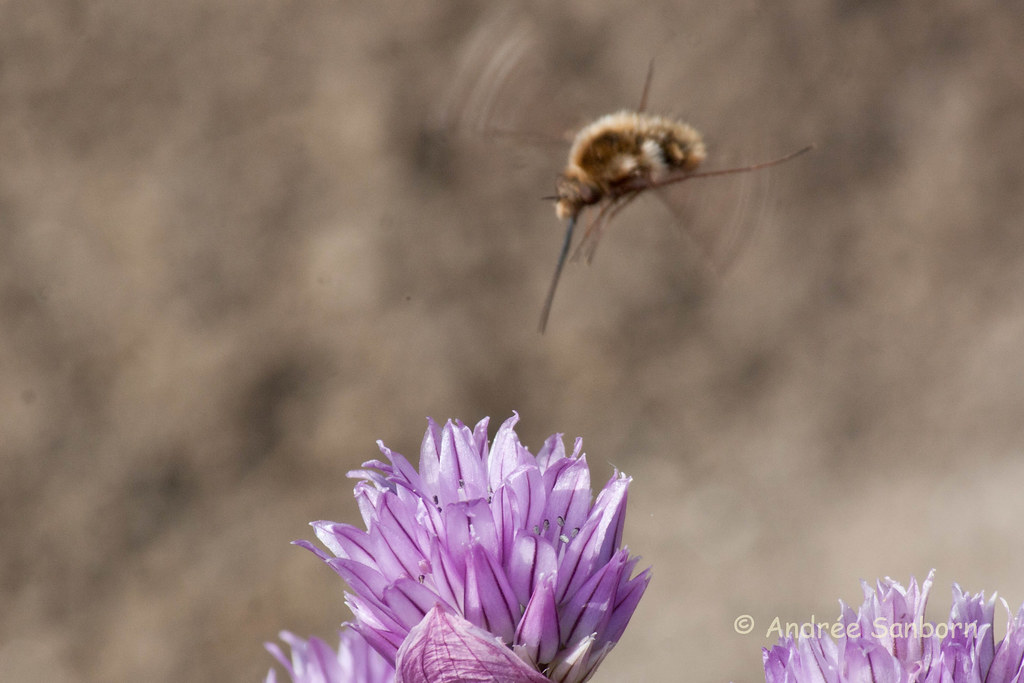 Greater Bee Fly (Bombylius major)-8-1.jpg