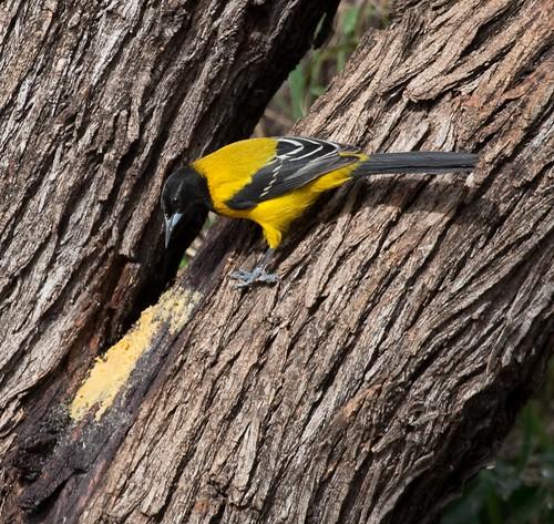 Audubon's