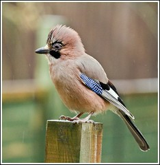 Jay in the rain (motorsportimagesbyghp) Tags: bird nature canon garden jay wildlife sigma170500 bej eos400d