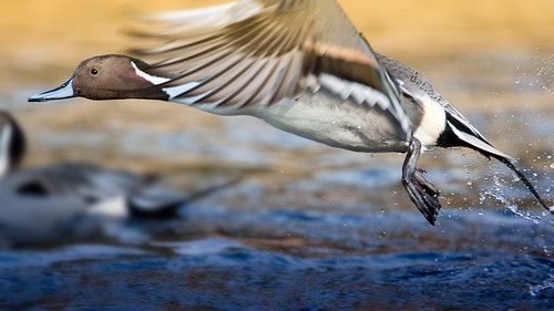 20090125-pintail duck5